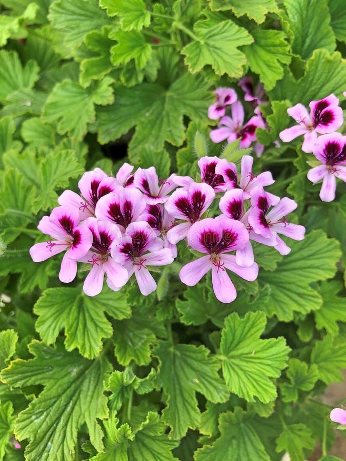 en blomma för pelargoniaFragrans pelargon arkivbilder