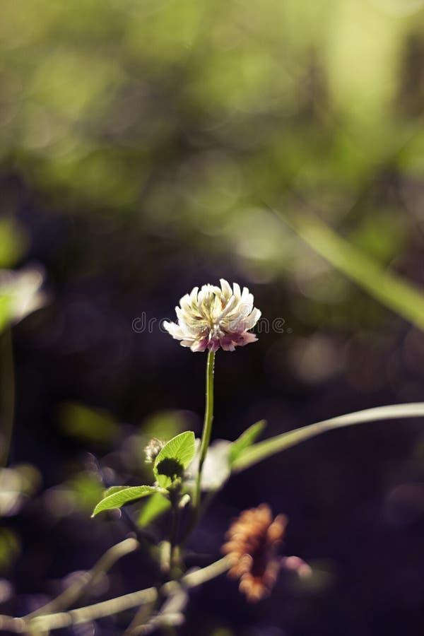 En blomma för vit växt av släktet Trifolium växer på gräs och bokehbakgrund royaltyfri bild