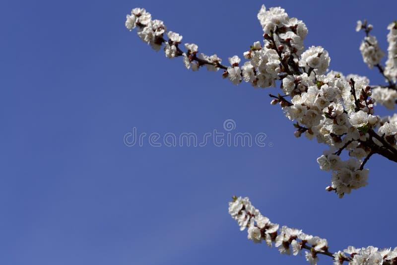 En blomma filial av ett träd med vita blommor mot en blå himmel arkivfoto