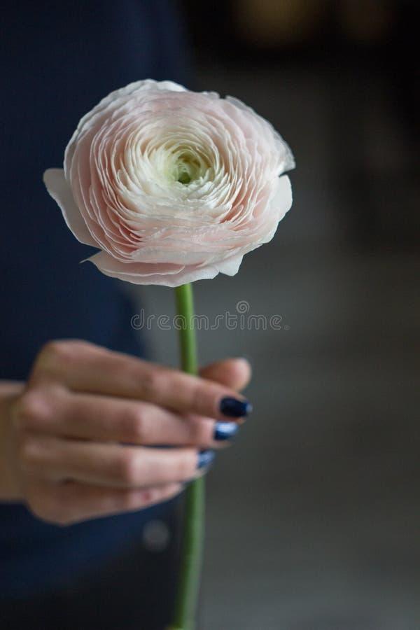 En blommaRanunculus i hand arkivfoton