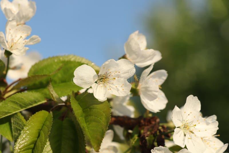 En blomning av plommonet på plommonträd med himmel och annat träd Fotoet är i dagligt ljus med solsken royaltyfria foton