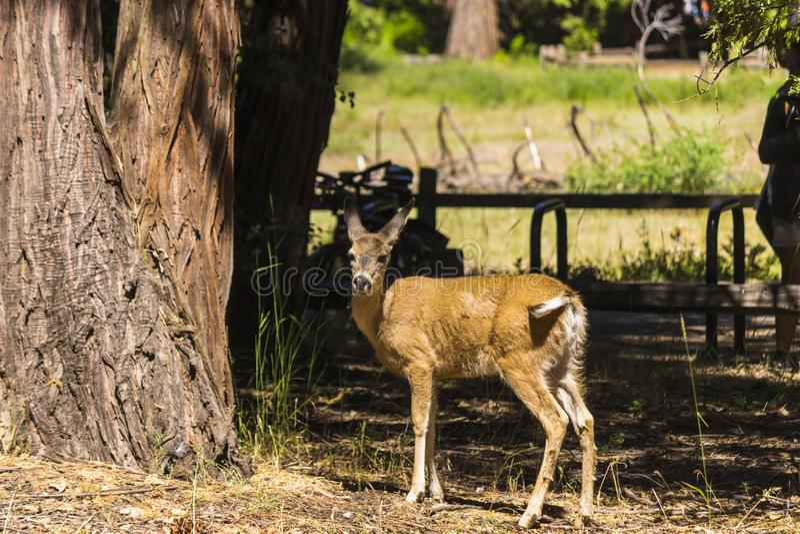 En bock i den Yosemite nationalparken arkivfoto