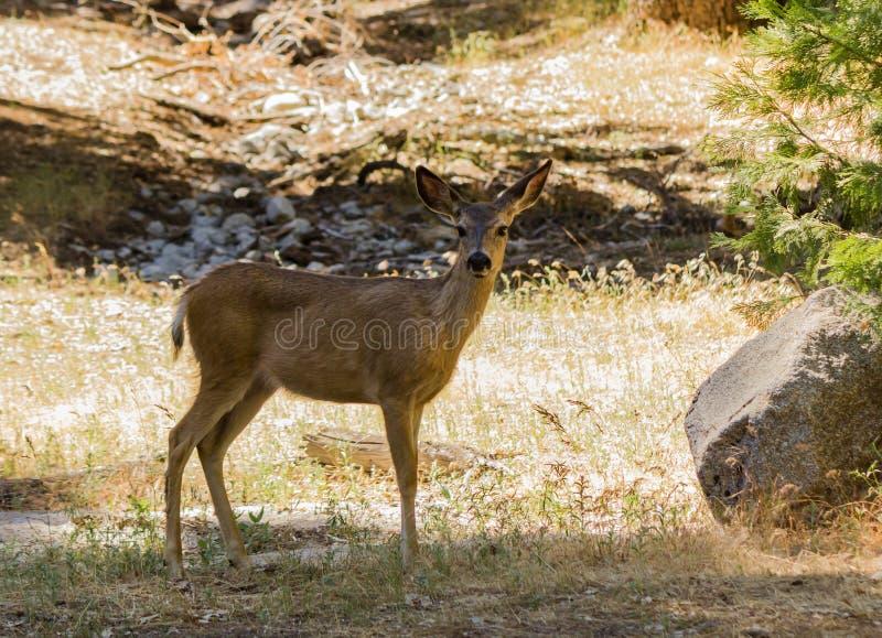 En bock i den Yosemite nationalparken fotografering för bildbyråer