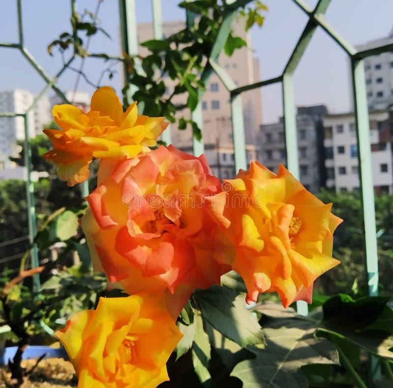En bokstavlig blandning av gul och röd, orange ros royaltyfri foto