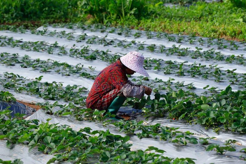 En bondaktig kvinna som arbetar i fälten Yunnan Kina arkivbild