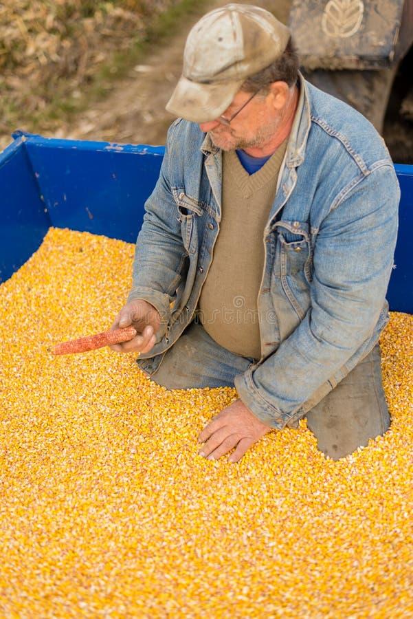 En bonde i en traktorsläp mycket av havre royaltyfri fotografi