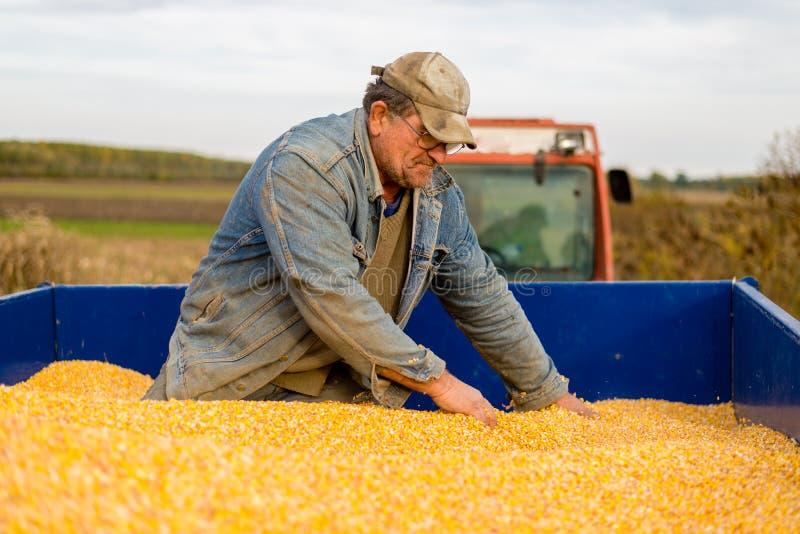 En bonde i en traktorsläp mycket av havre fotografering för bildbyråer