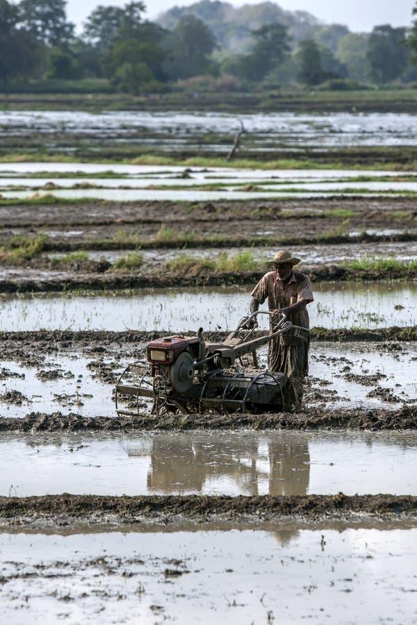 En bonde plöjer ett risfältfält i Sri Lanka royaltyfri bild