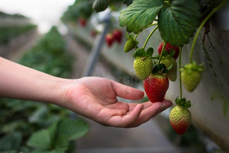 En bonde som väljer mogna jordgubbar från en jordgubbelantgård bruka som är organiskt En trädgårdsmästare som bevattnar hennes vä royaltyfri fotografi