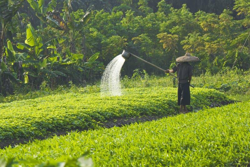 En bonde Watering Vegetable Field royaltyfri fotografi