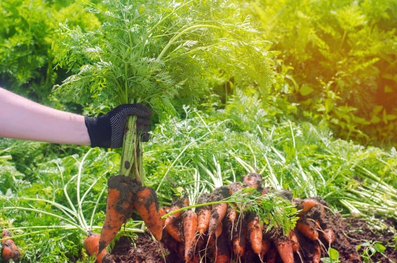 En bondeplockningmorot på fältet V?xande organiska gr?nsaker Seacional jobb lantbruk Agro-bransch Jordbruk Lantg?rd arkivfoton