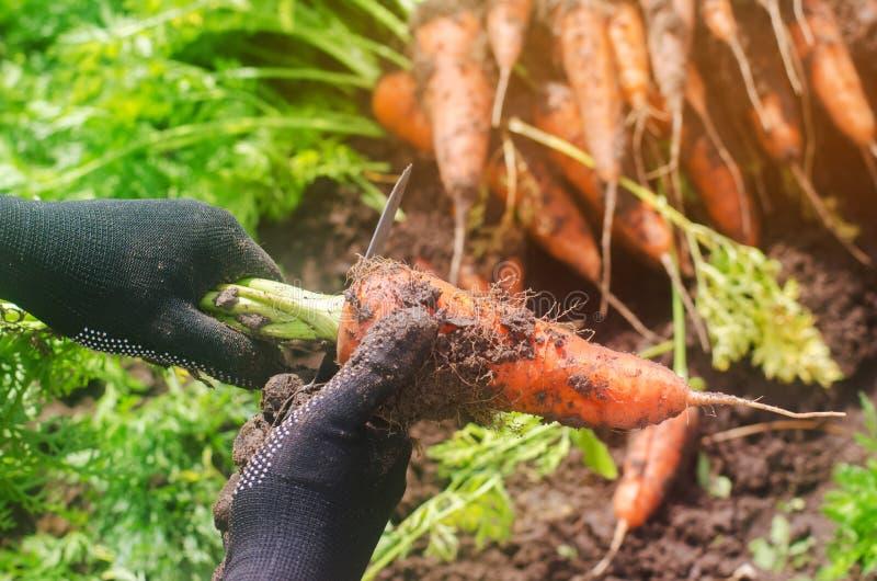 En bondeplockningmorot på fältet V?xande organiska gr?nsaker Seacional jobb lantbruk Agro-bransch Jordbruk Lantg?rd royaltyfria foton