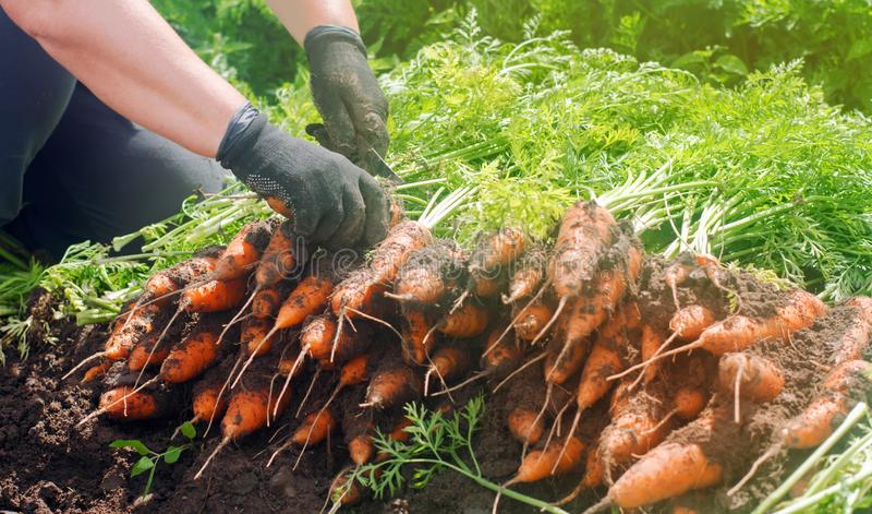 En bondeplockningmorot på fältet V?xande organiska gr?nsaker Seacional jobb lantbruk Agro-bransch Jordbruk Lantg?rd royaltyfri fotografi