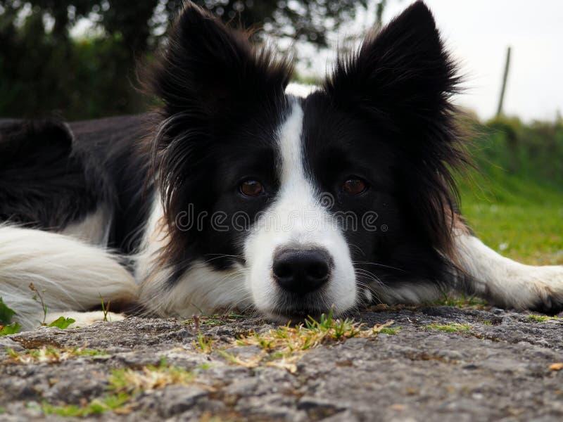En border collie som försiktigt håller ögonen på fotografering för bildbyråer