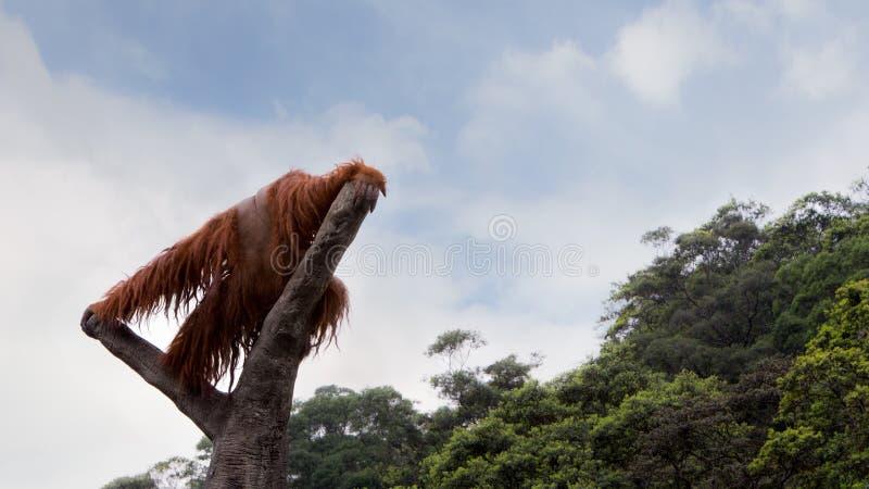En Bornean orangutang, Pongopygmaeus, klättrade upp till överkanten av trädet med blå himmel royaltyfri bild