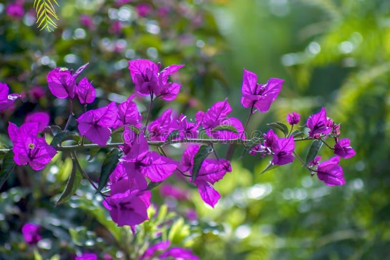 En bougainvilleafilial med några blommor arkivfoto