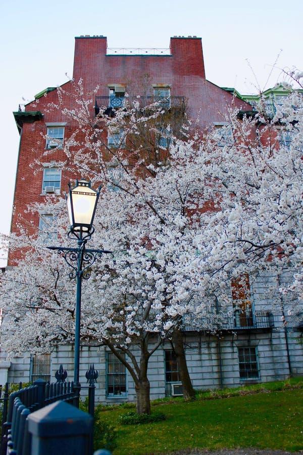 En Bradford Pear Tree på hörnet av en gata royaltyfri foto