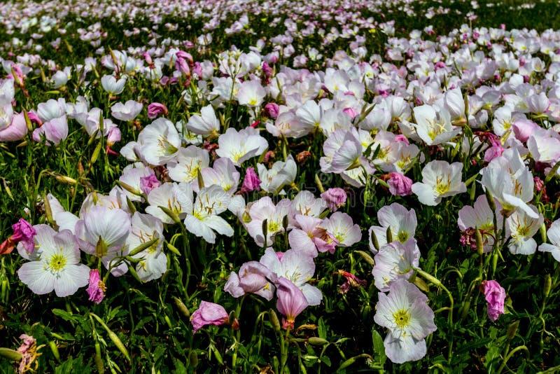 En bred vinkelCloseup av ett fält som packas med hundratals rosa Texas Pink Evening Primrose Wildflowers arkivbilder