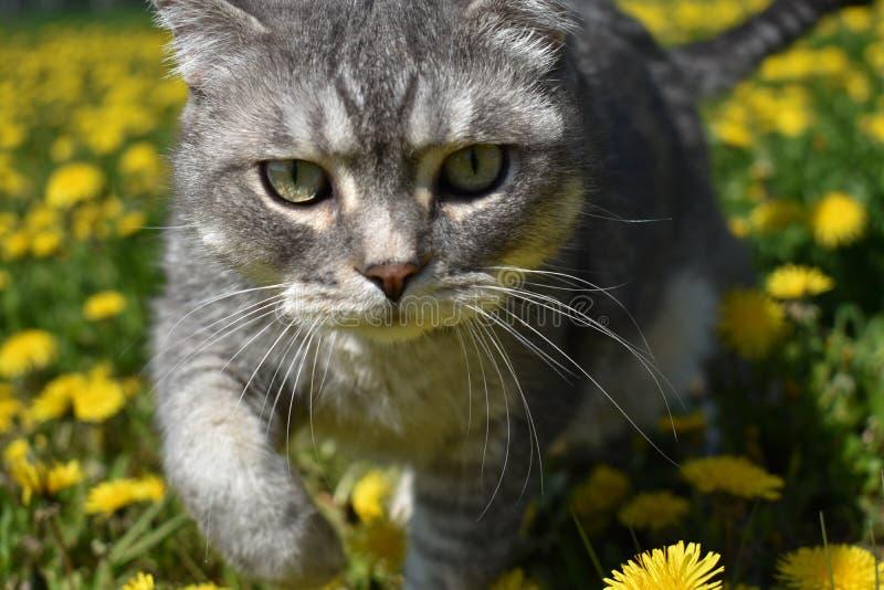 En brittisk katt promenerar en blommande äng mycket av maskrosor royaltyfri fotografi