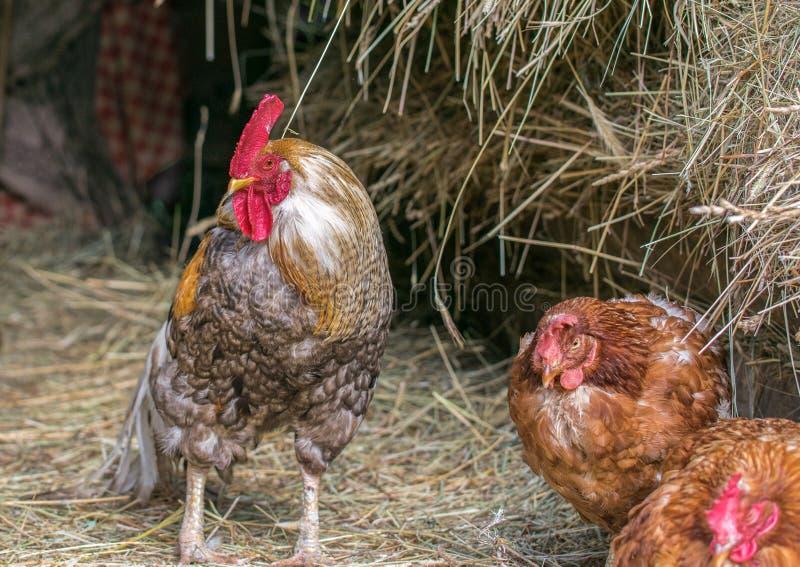 En brokig hane och två bruna hönor sitter i en ladugård med hö fotografering för bildbyråer