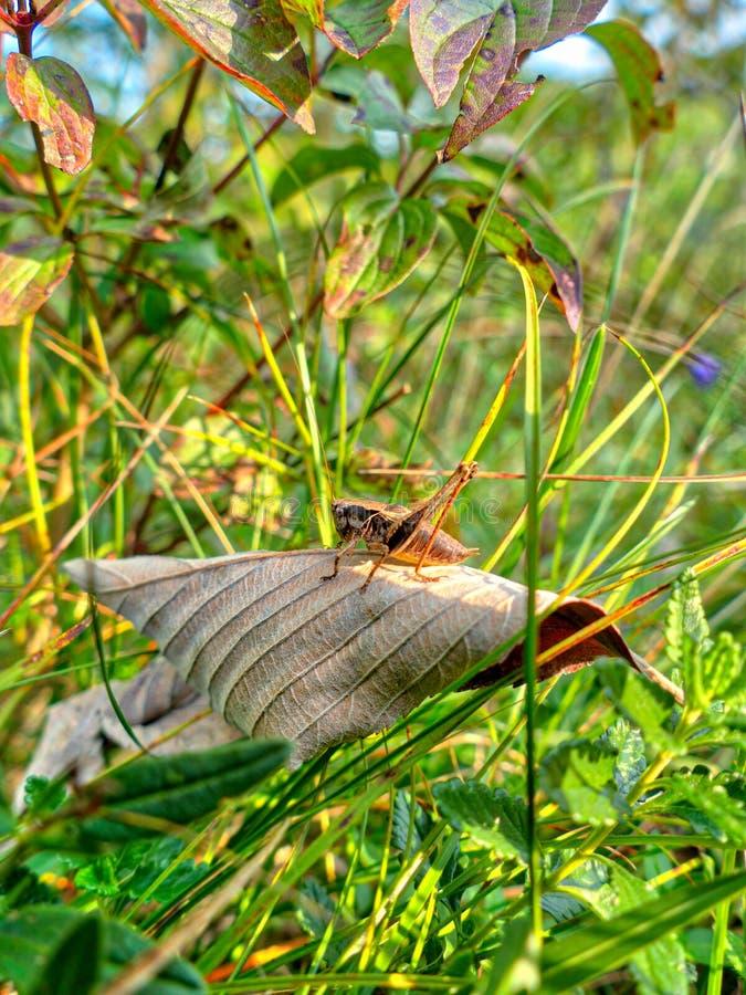 En brun gräshoppa sitter i en grön höstäng arkivbild