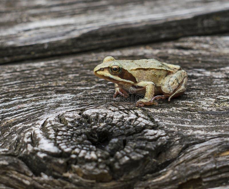 En brun groda sitter på en träyttersida white för temporaria för rana för bakgrundsgrodagräs royaltyfri foto