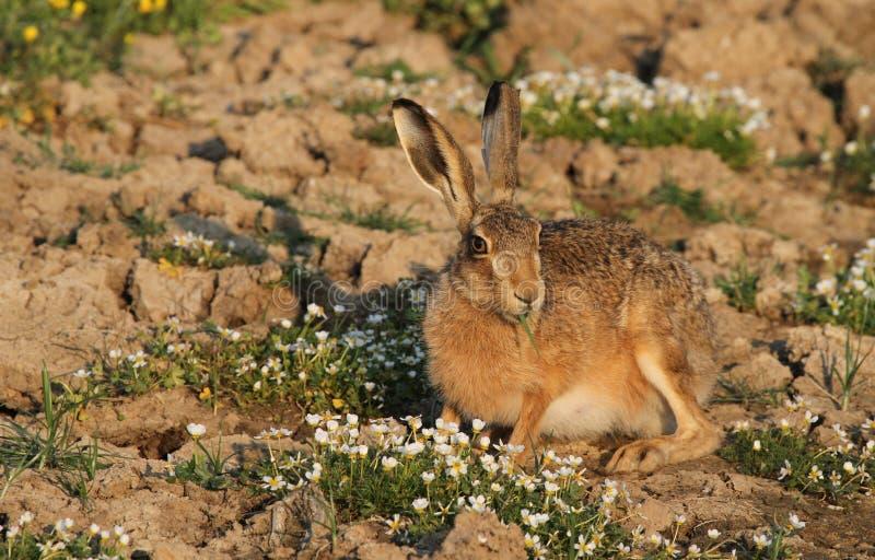 En brun hare, Lepuseuropaeus i ett fält med nätt äta för blommor arkivfoton