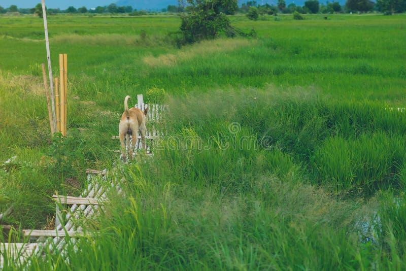 En brun hund på träbambubrogångbanan som spänner över till risfältet royaltyfri bild
