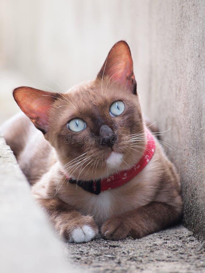 En brun katt lägger ner och stirra till något fotografering för bildbyråer