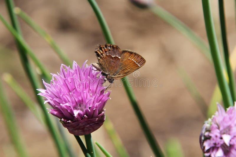En brun mal som pollinerar en rosa växt av släktet Trifoliumblomning royaltyfria foton