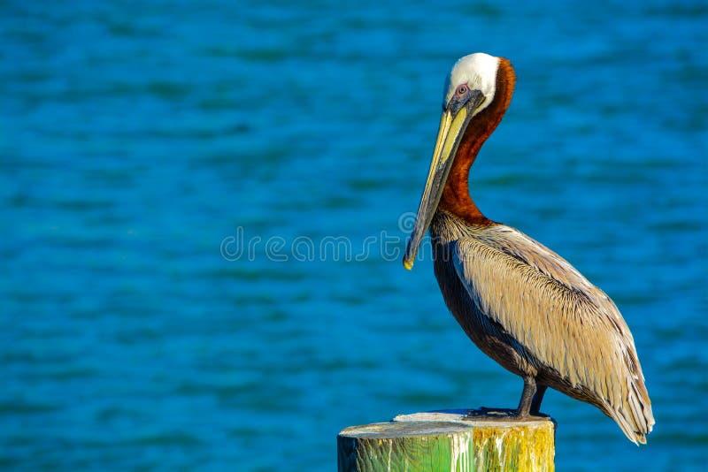 En brun pelikanPelecanus Occidentalis som vilar på Johns, passerar på golfen av Mexico, Florida royaltyfri bild