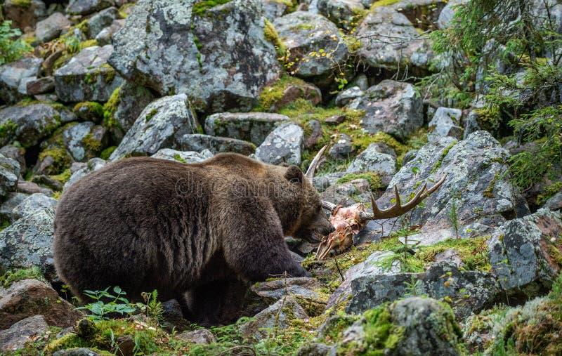 En brunbjörn i den forestBear hösten och älgskalle arkivbilder