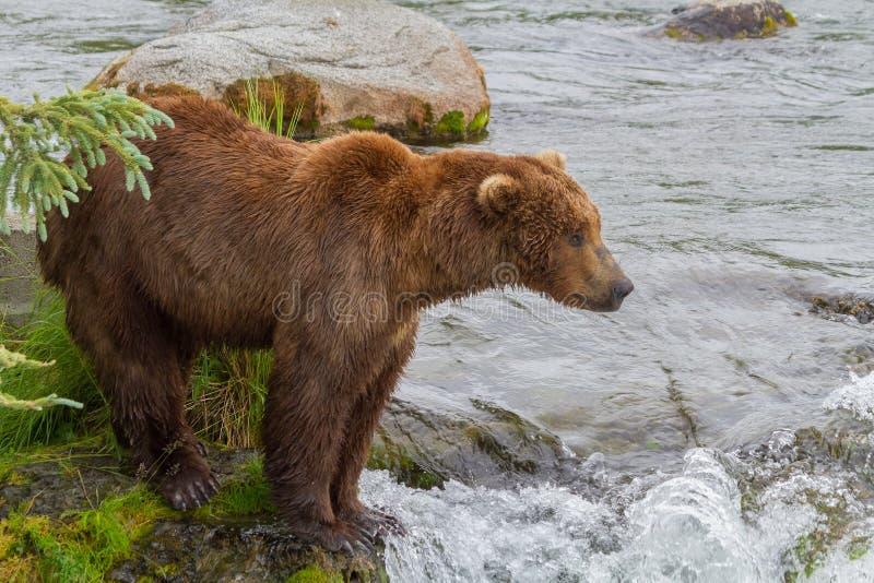 En brunbjörn som står vid bäckfloden royaltyfri fotografi