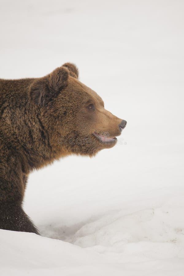 En bruntgrisslybjörn för svart björn i snöbakgrunden royaltyfri foto