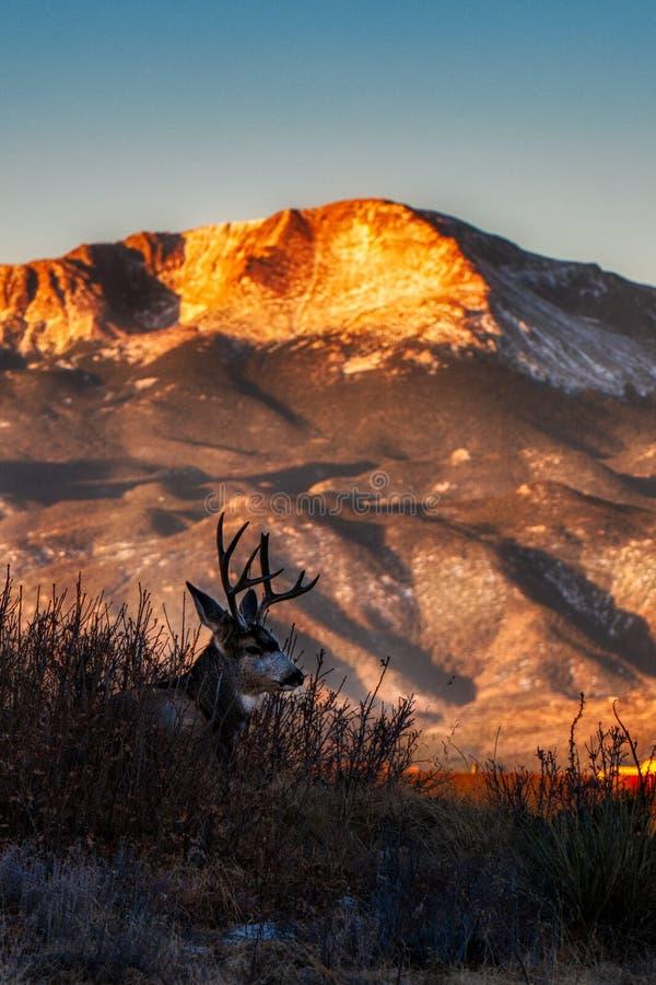 En Buck Deer på soluppgång för Pikes Peakberg s arkivbild