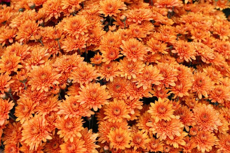 En bukett av den härliga krysantemumet blommar utomhus Krysantemum i trädgården Färgrik blommachrisanthemum yellow för modell för royaltyfria foton