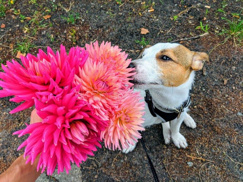 En bukett av ljusa rosa dahlior, som sniffar en hund, Jack Russell Terrier avel royaltyfri fotografi