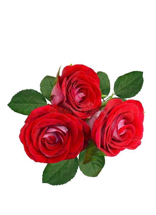 En bukett av r?da rosor p? en vit bakgrund isolerat royaltyfri fotografi