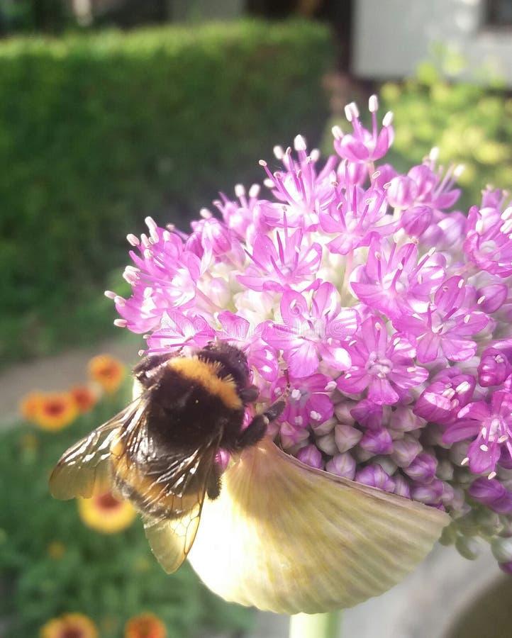 En Bumlebee samlar nektar på en jätte- lök i trädgården fotografering för bildbyråer