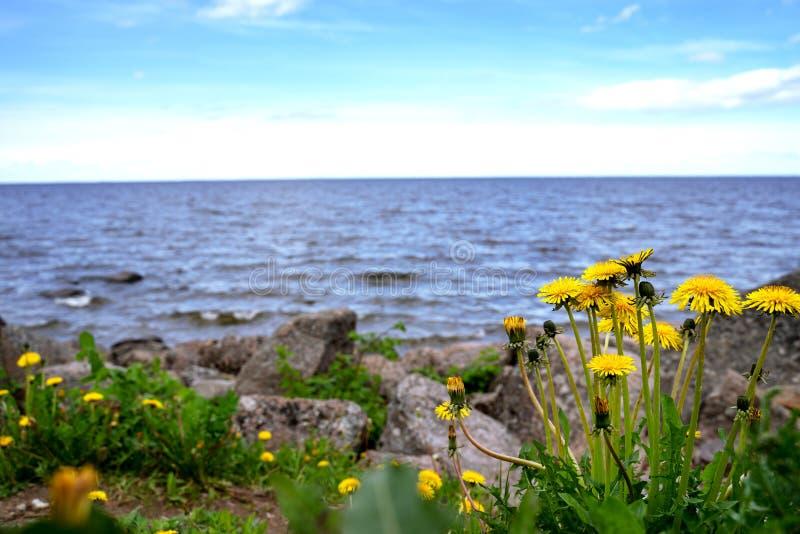 En buske av den gula maskrosen mot bakgrunden av den blåa Östersjön finland golf Landscap för buske för blomma för berghavskust arkivbilder