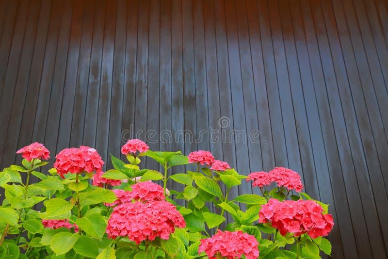 En buske av den röda vanliga hortensian växer i trädgården mot en brun trävägg Scharlakansröda vanlig hortensiablommor med stora  royaltyfria bilder