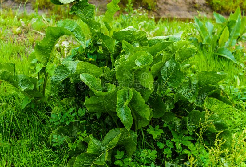 En buske av gröna sidor av pepparrot i trädgården i byn royaltyfri bild