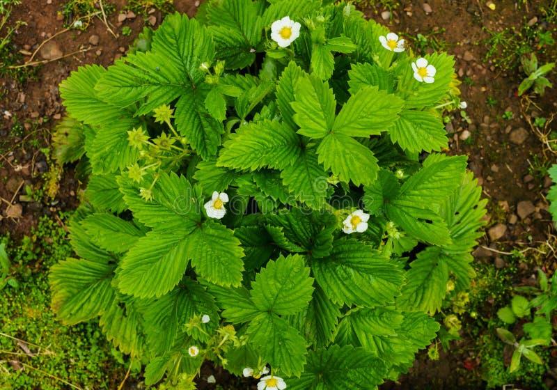 En buske av trädgårdjordgubbar i en trädgårdträdgård arkivbilder
