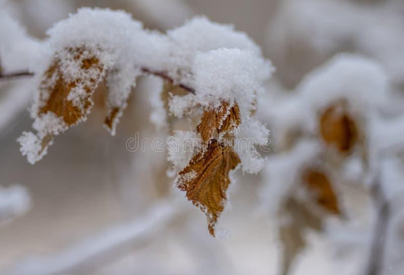 En buske av vinbäret med gula blommor under snowyellowvinbäret lämnar under snö royaltyfri fotografi