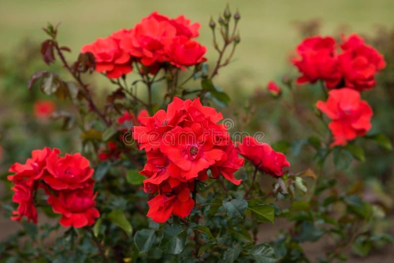 En buske med röda rosor för blommor och en grön buske royaltyfri foto