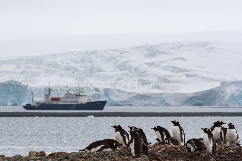 En bygga bo papua för gentoopingvinPygoscelis koloni med en turist- shipandglaciär i bakgrunden, Antarktis arkivfoton