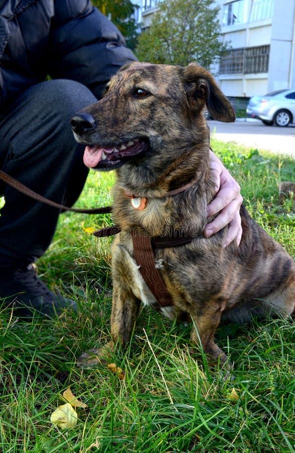 En byracka som hunden i en krage med kort tafsar, sitter på gräset bredvid förlagen, kramarna för armen för ägare` s hunden arkivbilder