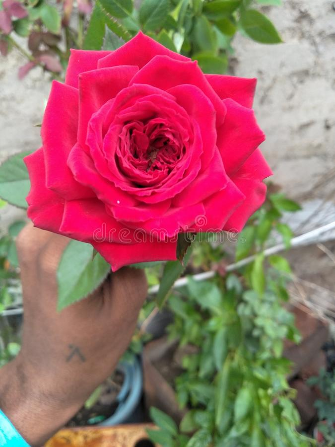En casa Rose Very Beautiful roja foto de archivo libre de regalías