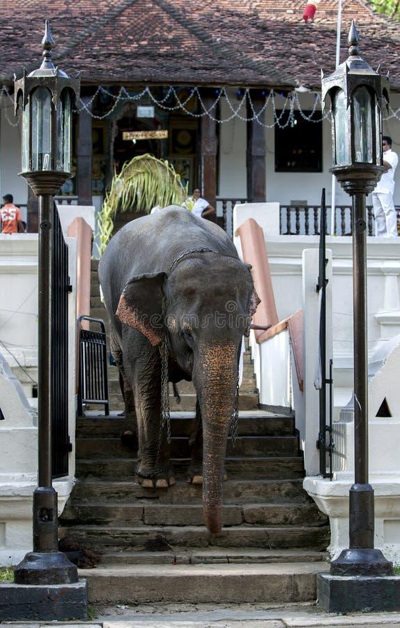 En ceremoniell elefant i Kandy arkivfoton