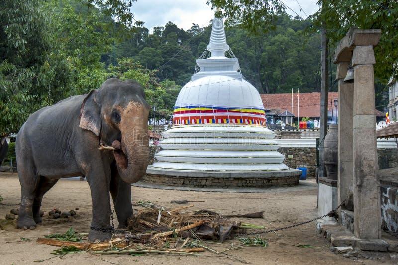 En ceremoniell elefant i Kandy royaltyfria foton